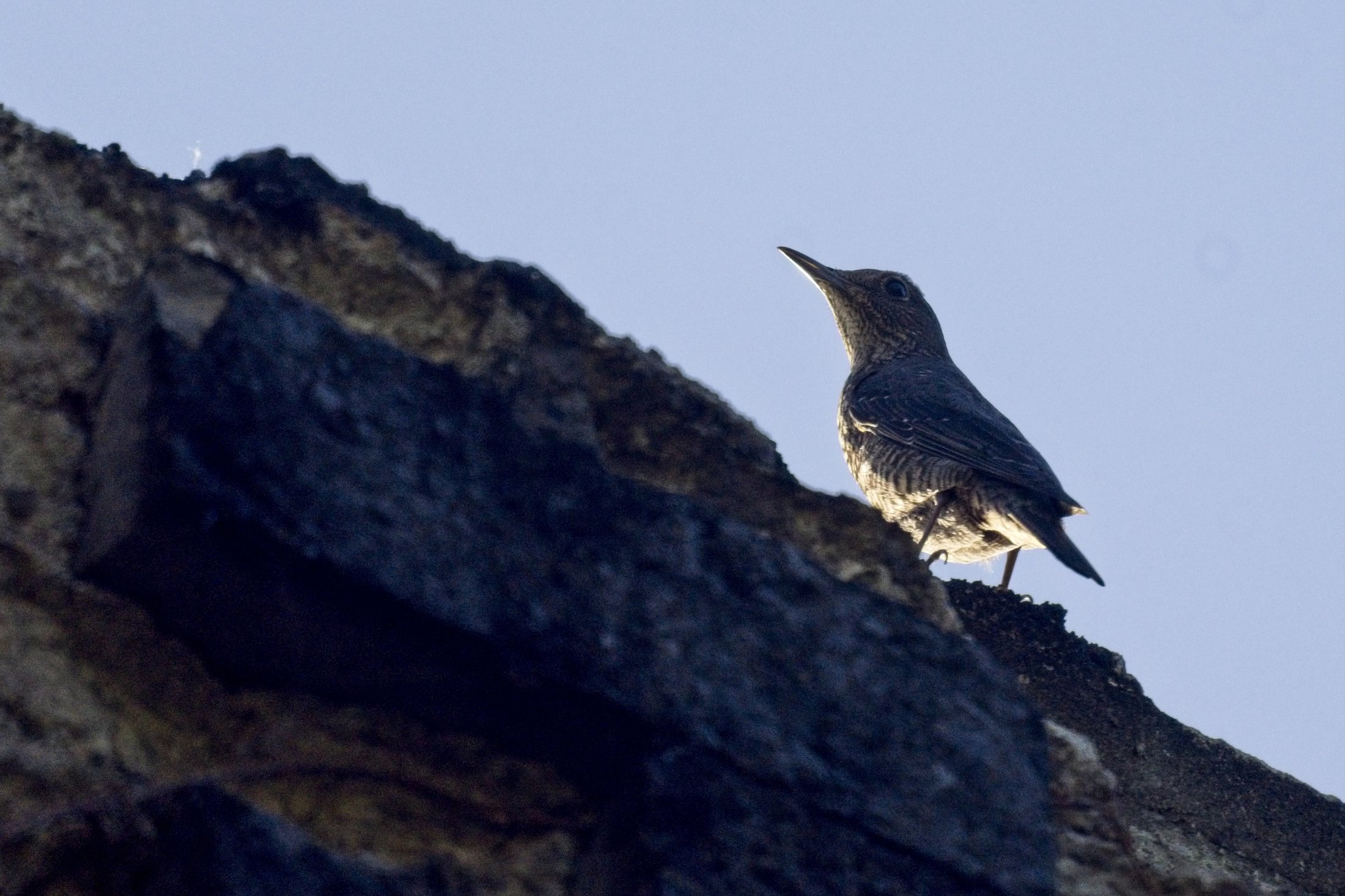 Blue Rock-Thrush - Monticola solitarius, female