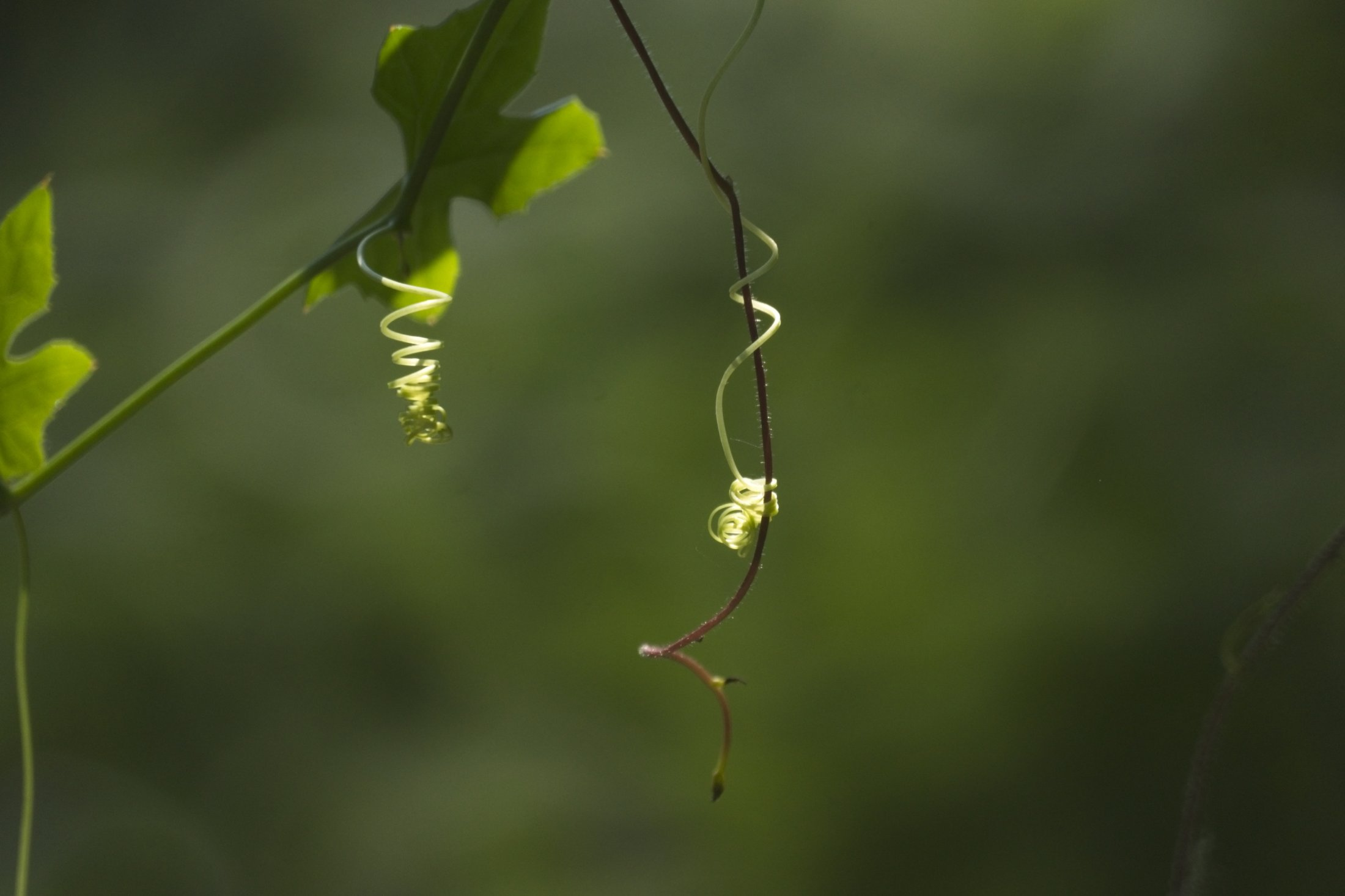 Creeper tendril, coiled up