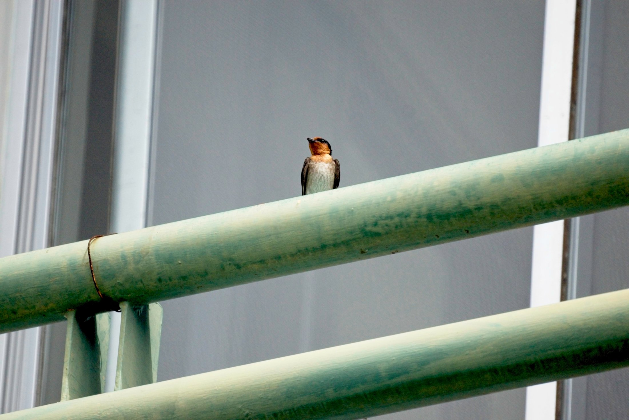 House Swallow - Hirundo javanica
