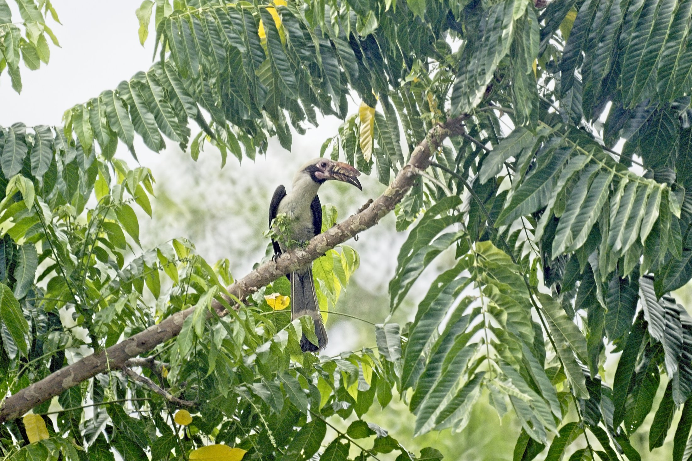 Luzon Hornbill - Penelopides manillae