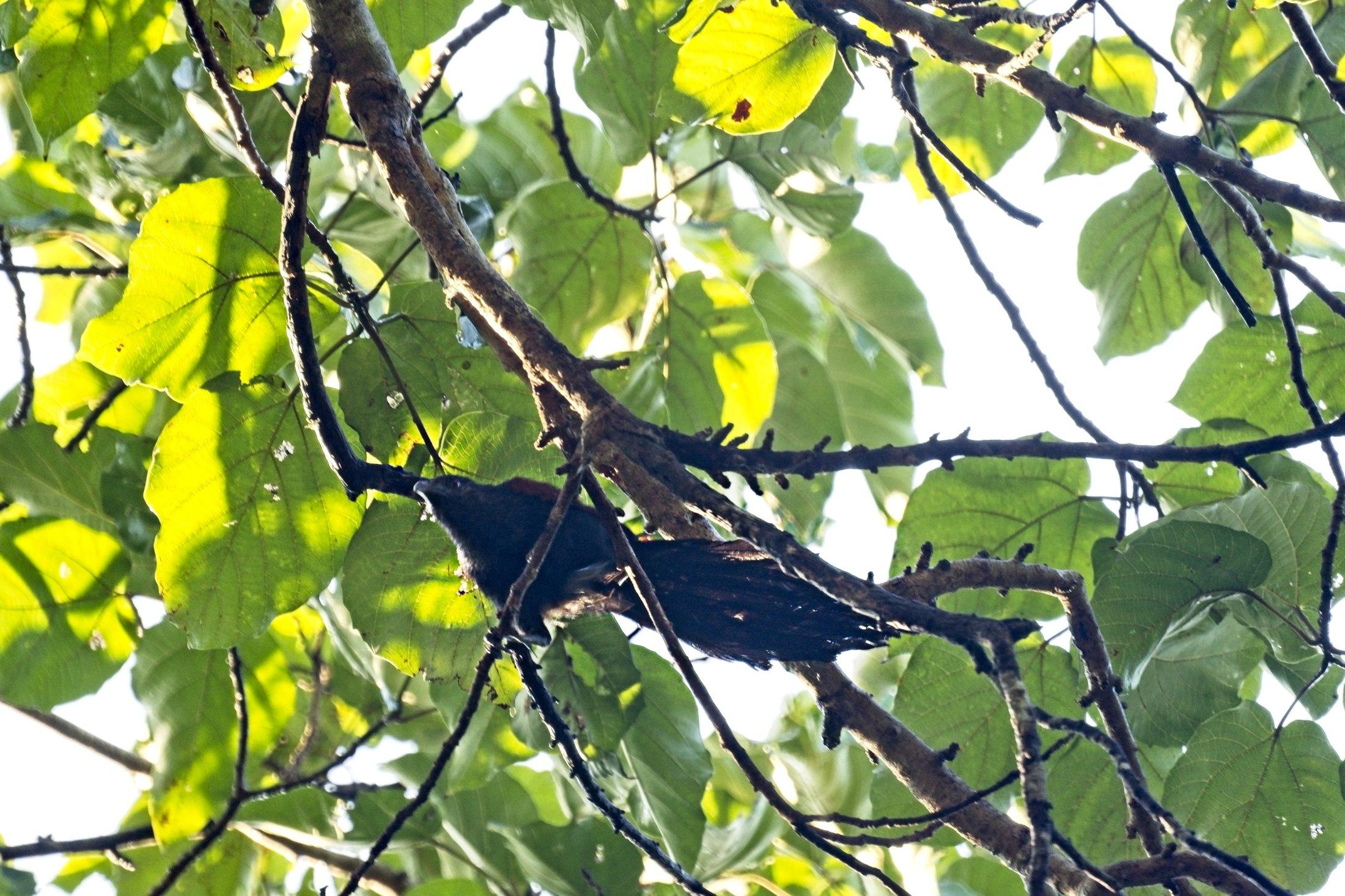 Philippine Coucal - Centropus viridis