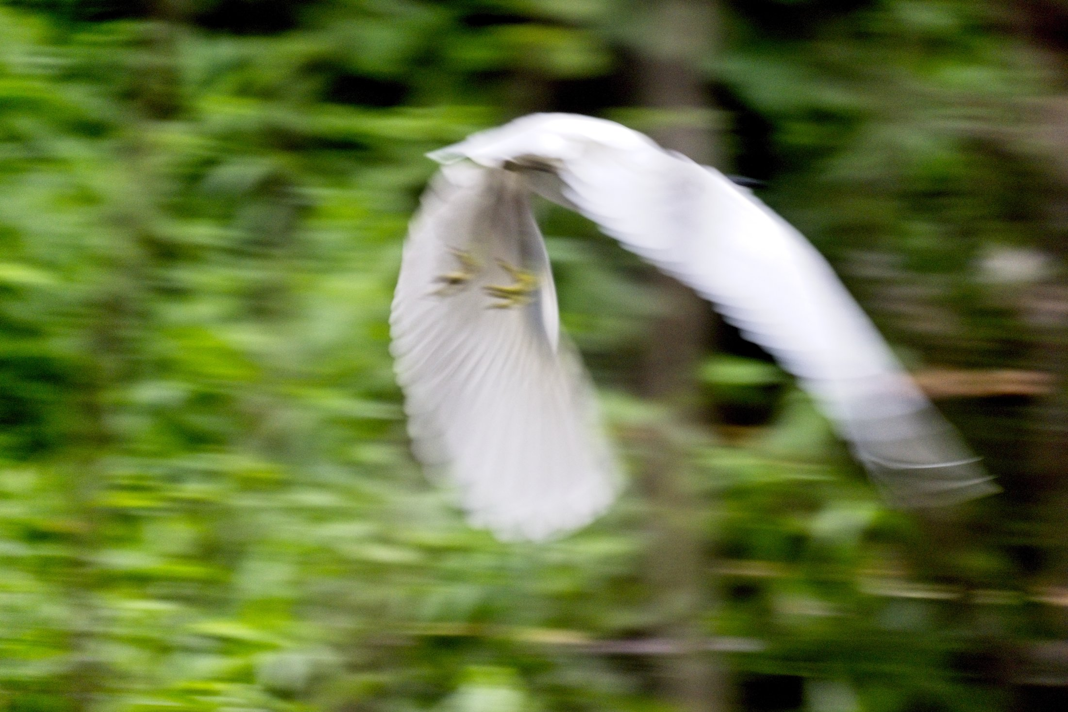 Little Egret - Egretta garzetta - in flight