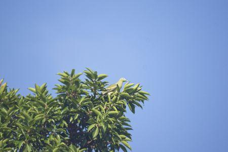 Philippine Green-pigeon - Treron axillaris