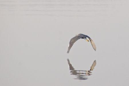 Western Reef-egret - Egretta gularis