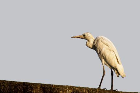 Western Cattle Egret - Bubulcus ibis