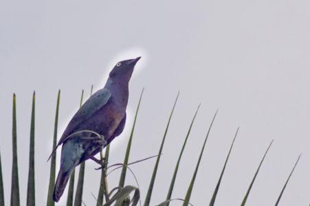 Splendid Glossy Starling - Lamprotornis splendidus
