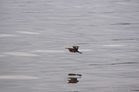 Little Bittern - Ixobrychus minutus, flying over lagoon