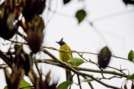 Black-crested Bulbul—Pycnonotus flaviventris