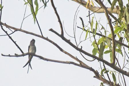 Crested Treeswift—Hemiprocne coronata