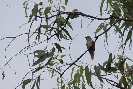 Violet Cuckoo—Chrysococcyx xanthorhynchus