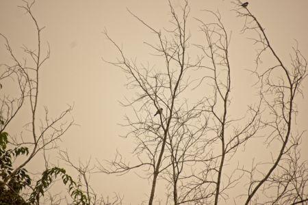 Sooty-headed Bulbul—Pycnonotus aurigaster & Oriental Magpie-Robin—Copsychus saularis