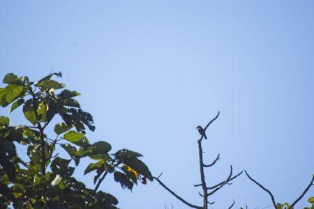 Lineated Barbet—Psilopogon lineatus
