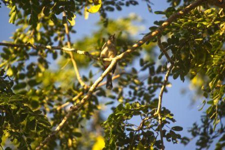 Sooty-headed Bulbul—Pycnonotus aurigaster