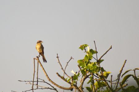 Brown Shrike—Lanius cristatus