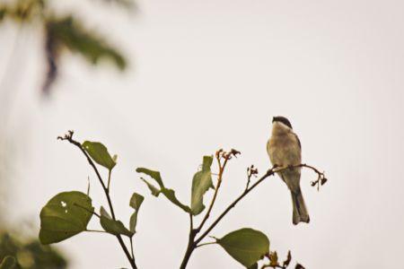 Bar-winged Flycatcher-Shrike—Hemipus picatus