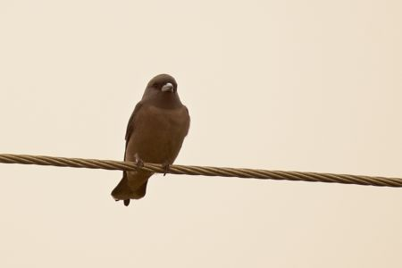 Ashy Woodswallow—Artamus fuscus