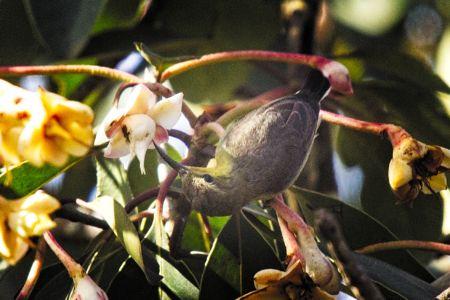 Brown-throated Sunbird—Anthreptes malacensis