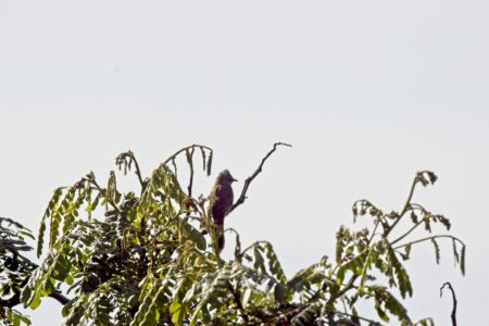 Flavescent Bulbul—Pycnonotus flavescens