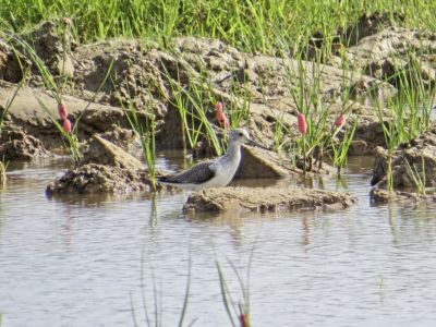 Common Greenshank - Tringa nebularia