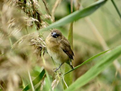 Scaly-breasted Munia - Lonchura punctulata, juvenile