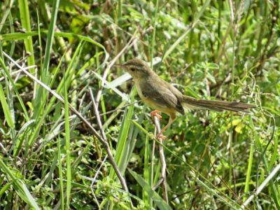 Yellow-bellied Prinia - Prinia flaviventris