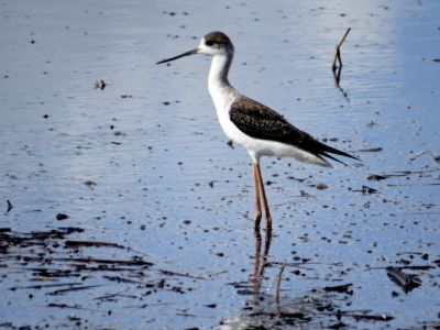 Blackwinged Stilt - Himantopus himantorpus