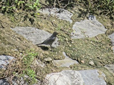 Blue Rock-thrush - Monticola solitarius