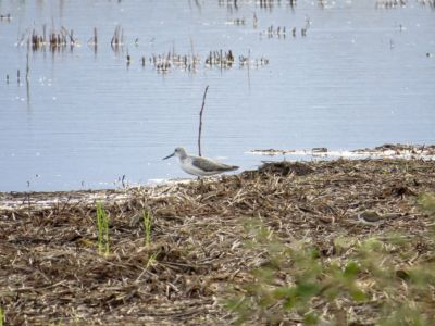 Spotted Greenshank - Tringa guttifer